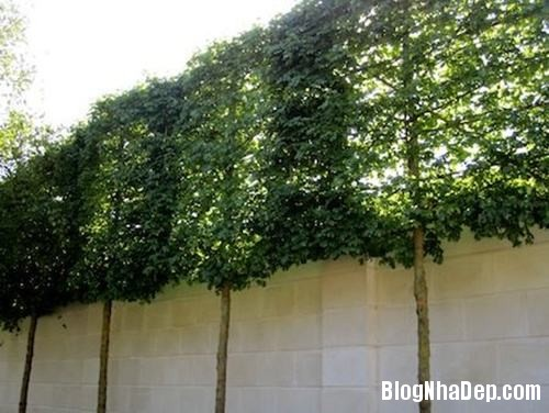 file.407590 Bài trí sân vườn với hàng rào cây xanh