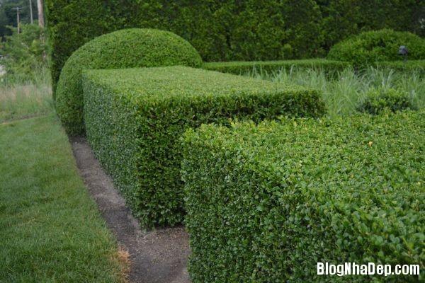 20140630074103383 Những mẫu tỉa cây cảnh đẹp cho sân vườn